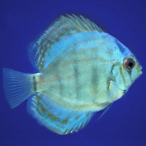 (熱帯魚)マリンブルーディスカス(タイ産)(約6cm)<1匹>[生体]