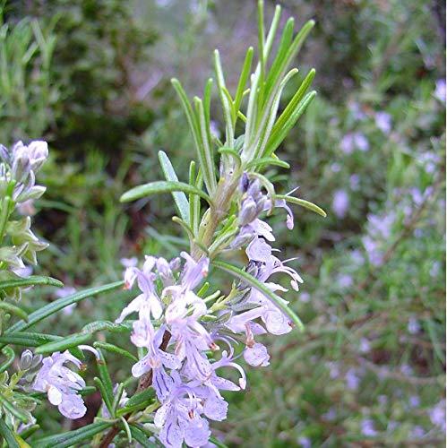 6 x Rozemarinus officinalis - Romarin officinal Godet 9x9cm