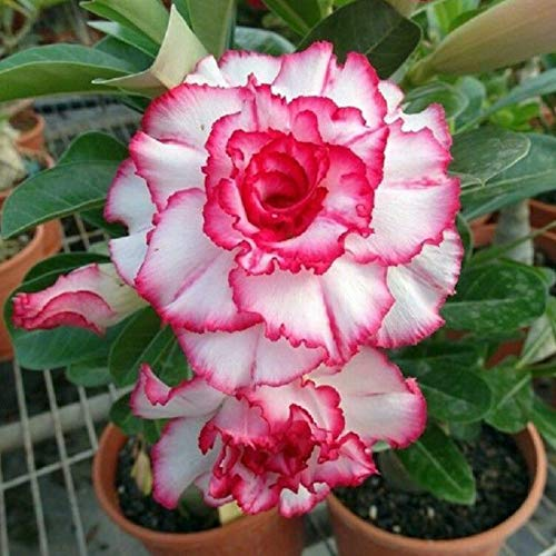 Benoon Semi Di Rosa Del Deserto, 1 Sacchetto Di Semi Di Rosa Del Deserto Semi Di Bonsai Da Balcone Rari Naturali Accattivanti Per Giardino Semi di rosa del deserto