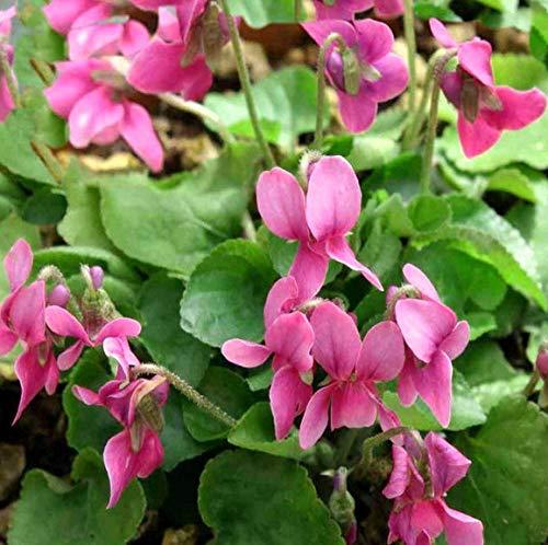 Portal Cool Viola Odorata F. Rubra, Rot Duftveilchen 30 Samen