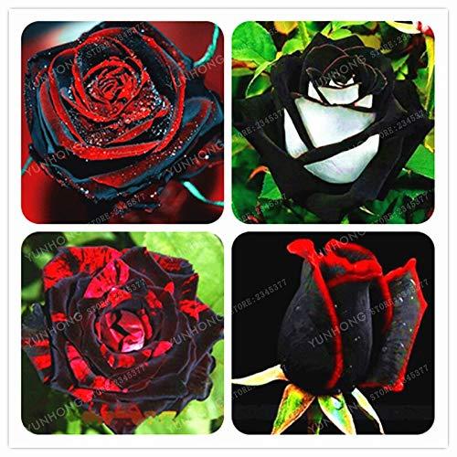 Kalash New 100pcs Seltene Rosen-Blumen-SEED für Garten Mixed