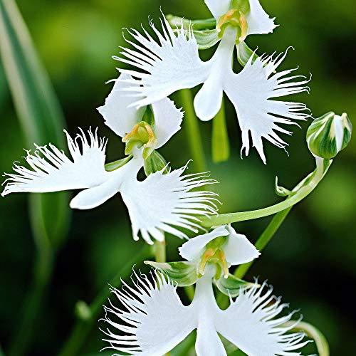 3x Habenaria radiata | Weiße Vogelblume | Orchideen Blumenzwiebeln Winterhart | Sommerblüher