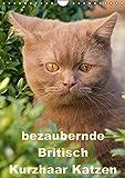 bezaubernde Britisch Kurzhaar Katzen (Wandkalender 2017 DIN A4 hoch): Dieser Kalender zeigt Outdoor Fotos der wunderbaren Britisch Kurzhaar Katzen (Monatskalender, 14 Seiten ) (CALVENDO Tiere)