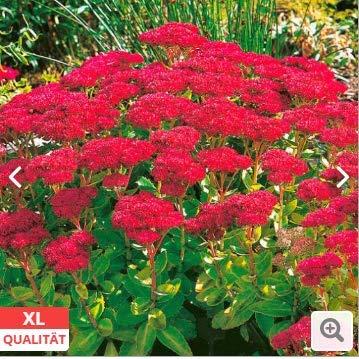 Qulista Samenhaus - 100pcs Fetthenne Herbstfreude Schmetterlinge bienenfreundlich, XL-Qualität Blumensamen mehrjährig winterhart Für Beet und Kübel