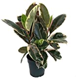 Tineke Rubber Tree Plant - Ficus - NEW yet...