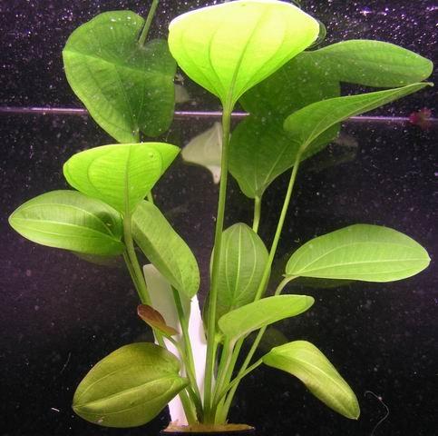 WFW wasserflora Rötlicher Froschlöffel harbig/Echinodorus harbich rot