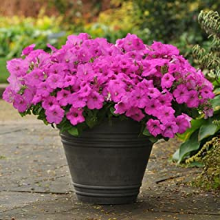 easy wave petunia neon rose