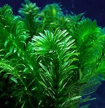 Free Shipping! LIVE Pond Water Garden Aquarium Elodea 1 lb For 17.50