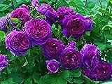 100 piezas de semillas de rosas trepadoras flor ornamental perenne semillas de rosas trepadoras púrpuras para jardín balcón terraza