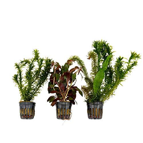 3x Wasserpflanzen Aquarium 'Kühle Farben'   Aquariumpflanzen Set echt   Höhe 15 cm   Topf-Ø 5 cm