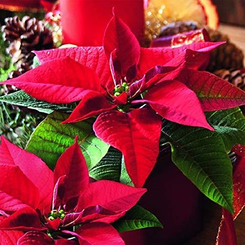 linoows 20 Napkins Christmas Poinsettia, Orange and Pine Apples 33 x 33 cm