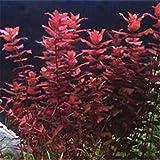 2016 Nuevos 1000 Semillas piezas planta de acuario de agua, semillas de la planta acuática ornamental Hierba, plántulas muy fácil crecer 3