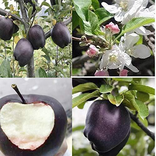ZLKING 50Pcs Black Apple Seed Rare Bonsai Black Diamond Apple Tree Seeds Plants Dwarf Apple Bonsai Rare Perennial Fruit Plant for Home Garden Plants