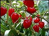 10 Semi di Habanero Rosso peperoncino spiccato piccante, Red Hot Pepper, Guida Coltivazione
