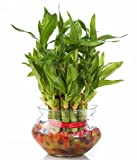 SMZ Brandlines - 2 Layer Top Quality Lucky Bamboo Indoor Plant For Feng