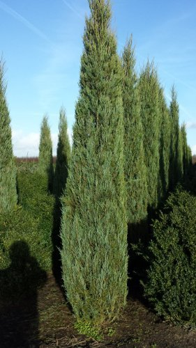 blauer Raketen Wacholder Juniperus scopulorum Blue Arrow 50-60 cm hoch im 4 Liter Pflanzcontainer