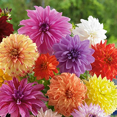 Mixed Dinnerplate Dahlia Bulbs - Assorted Colors - 3 Large Tubers