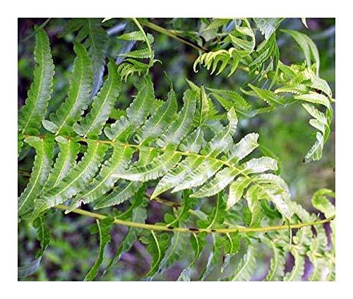 Anisogonium esculentum - fougère végétale - 100 graines