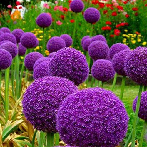 100Pcs Giant Onion Seeds Allium Giganteum Flower Plant Home Garden Bonsai Decor - Purple Giant Onion Seeds