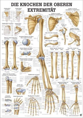Ruedige anatomie TA63LAM De botten van de bovenste ledematen tafel, 70 cm x 100 cm, gelamineerd