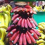 Portal Cool Banano Red Semillas Semillas 100 PC/bolsa de banano rojo rosa deliciosas semillas de frutas raras
