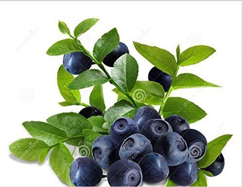 30 graines anacarde pomme plante Anacardium plantation d'arbres Graines Occidentale frais New fruits Graines
