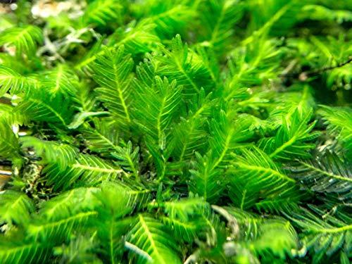 Aquatic Arts Fissidens Nobilis Moss Mat (Fissidens nobilis) - 3 x 3 inches -...
