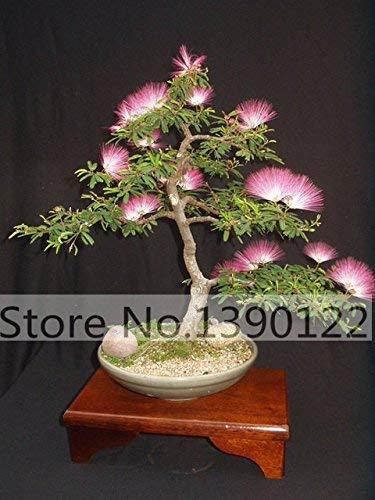 50 / sac Albizia Julibrissin Tree (Mimosa / Persian Rose Arbre Soie) graines Graines d'arbres pour la décoration maison