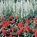 Outsidepride Salvia - White Victory