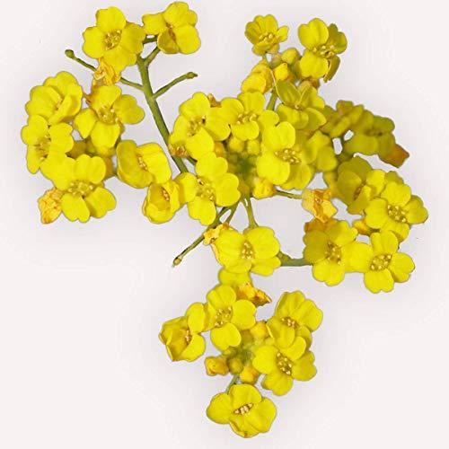 100 graines Fleurs - ALYSSE Corbeille d'Or - Alyssum