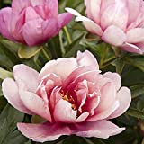 Planta Rara,Bulbos De PeoníA,En Maceta Todo El AñO,Flores De Corte Perfecto,Valor Muy Alto Para Ver,Flores De JardíN,Flor Ornamental-3 Bulbos