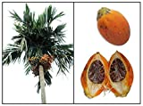 PLAT FIRM KEIM SEEDS: Betelnuss PALM 3 Areca catechu VIABLE FRESH SEED READY PLANT BING LANG Seed D279