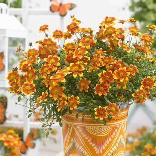 Tomasa Samenhaus- 100 Stück Zweizahn Biden Samen Chrysantheme gelb,Garten Bonsai Verschönerung Blumen winterhart mehrjährig Chrysantheme Samen