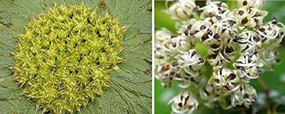スパイラル失礼ポップ種子:10倍Arctopus Echinatus複数年 - 種子 - - - - B675