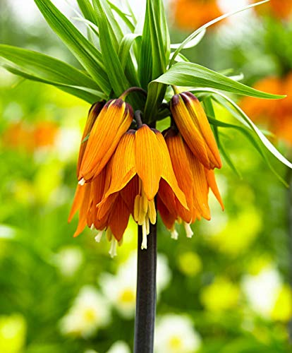 10 PC/bag Kaiserkrone Seeds 9 Farben Fritillaria Imperialis Samen Bodendecker Bonsai Blumensamen Blumentopf Hausgarten 1