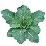 Burpee Georgia Collards Seeds 2000 seeds