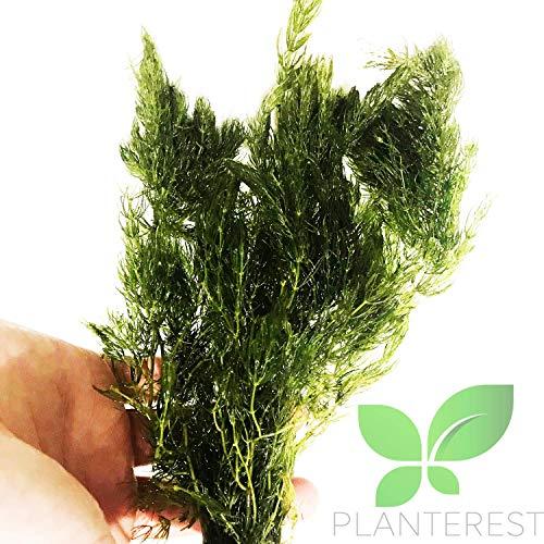 Planterest   Hornwort Ceratophyllum Demersum Live Aquarium Plant Easy for Beginner Tropical Pond Aquatic Plants Decoration - BUY2GET1FREE -