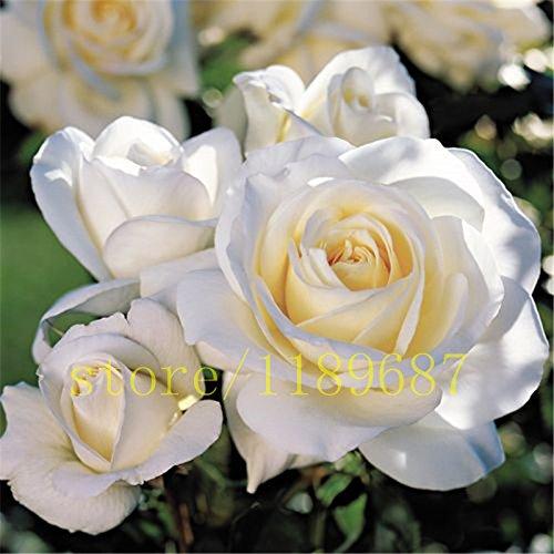 200 pcs bord blanc et jaune rose graines bonsaï fleur rose montrer votre amour à l'amant meilleur cadeau, Pure fleur d'amour pour la maison jardin
