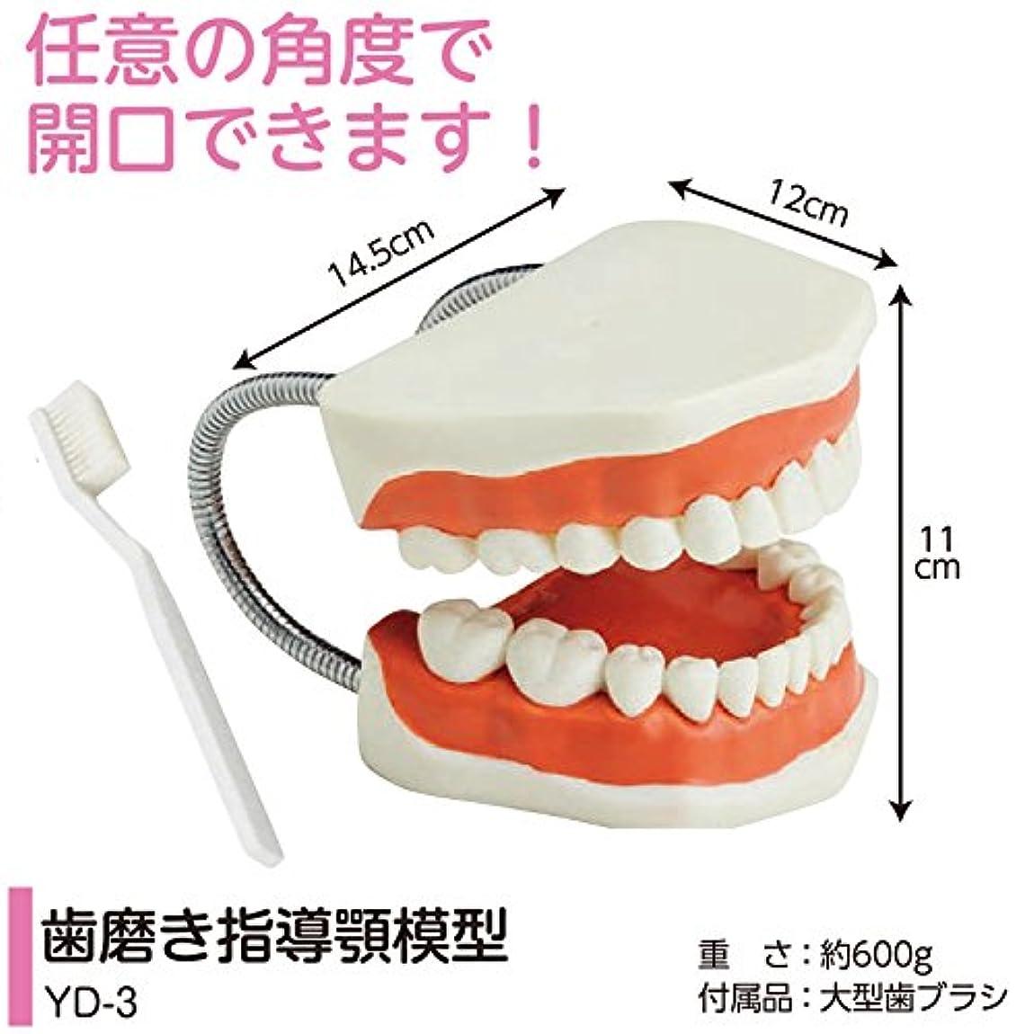 農民一般的に言えば通信する歯磨き指導用 顎模型 YD-3(歯ブラシ付) 軽くて持ちやすい歯みがき指導顎模型