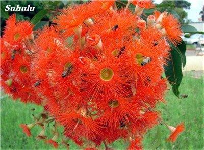 100 PC/Beutel seltene Regenbogen-Eukalyptus-Blüte Samen, Tropischer Baum Samen, Eukalyptus-Anlage für Hausgarten Zier Bonsai 4