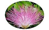 SURINAM Pink Powder Puff Tree Live Plant Rose Cascade Calliandra surinaminsis Unique Flowers Bonsai Starter Plant 4 Inch Pot Emerald TM