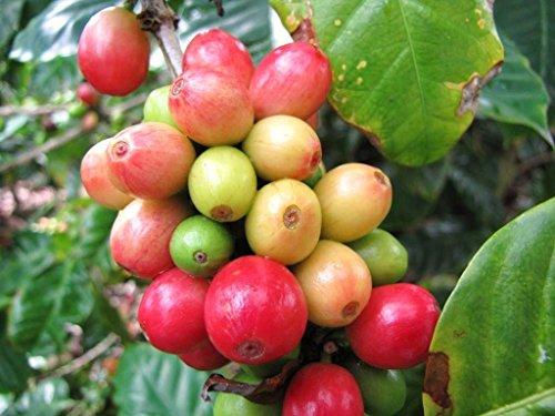 Grain de café Arbre, Coffea arabica arbuste rare tropical graine de café exotique 10 GRAINES