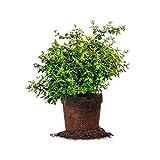 Perfect Plants Edward Goucher Abelia Live Plant, 1 Gallon, Includes Care Guide