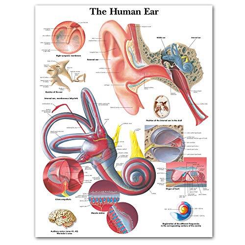 SPLLEADER Toile Anatomie Charts Anatomique Oreille Humaine Affiches Détails Toile Poster Mur Photos de l'éducation médicale Bureau Décoration d'intérieur Peinture sur Toile (Size (inch) : 60x80cm)