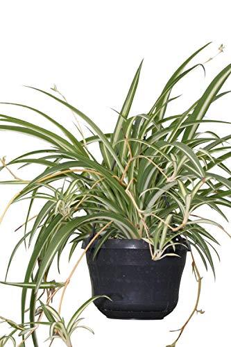 Zimmerpflanze für Wohnraum oder Büro - Chlorophytum - Hängende Grünlilie - Große buschige Pflanze