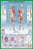 Educational - Der Menschliche Körper - Human Body - Muskel