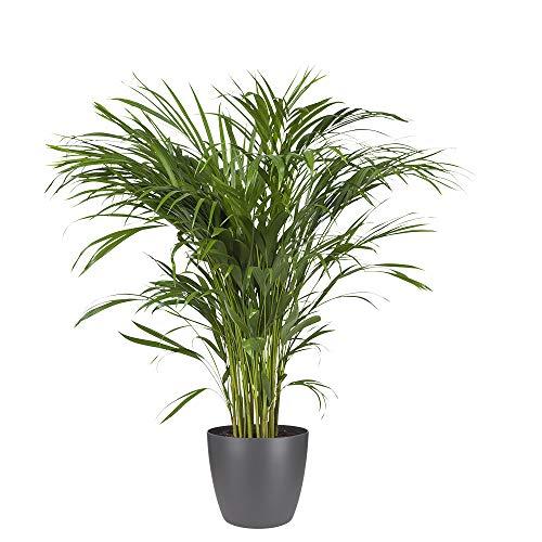 Planta de interior de Botanicly – Palma...