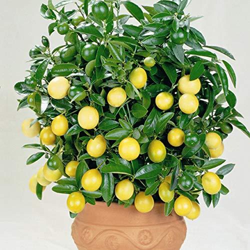 Lemon Plant Citrus Houseplant Grow Your...