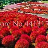 50Pcs Kochia Seeds A Perennial Burning Bush Kochia Scoparia Easy to Grow Seeds Garden Blooming Seeds A : 2