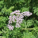 Officinalis Semillas, 1 bolsa de semillas de alta tasa de supervivencia...